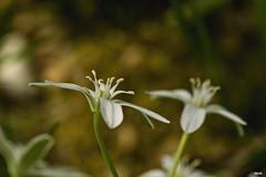 Wiesenblume (Katz-Ffm) Tags: flower nature germany deutschland hessen blossom frankfurt fineart blume tamron 90mm blte weiss buga wiesenblume nikond5300