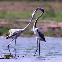 SHARING IS CARING (tjt4002) Tags: love birds flamingoes couple sharing hyderabad beautifulbird migratorybird tjt4002