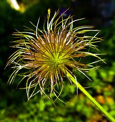 Shiny hairlines (Kat-i) Tags: plant flower macro spring pflanze kati blume makro frhling katharina 2016 pulsatillavulgaris kuhschelle kchenschelle samenstand nikon1v1 fruchtreife