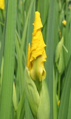 IMG_3363 (Elsa Blaine) Tags: iris ontario flower garden backyard yellowflower flowerbud
