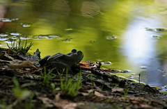 To Jump, Or Not To Jump, That Is The Question (jrussell.1916) Tags: lake nature water animals morninglight spring wildlife frogs canonef70200mmf4lis