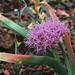 J20160505-0145—Allium platycaule—RPBG