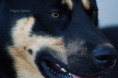 mon ppre <3 (virginiamphoto) Tags: chien photo husky flickr shoot photographer passion byme mydog berger jadore geule dbutante monloulou mabouledepoil