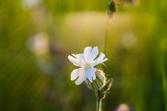 SAM_0693 (gabriella.lavati) Tags: life light wild flower macro natural samsung mc m42 manual manualfocus 50mmf28 greenlife volna9 nx300