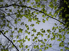 (martin_rees) Tags: light sky tree nature leaves spring branches surrey nik colorefex