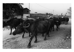 homeward bound | madhya pradesh (handheld-films) Tags: travel india rural countryside cattle cows indian farming documentary villages herd everydaylife buffaloes