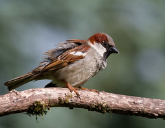Adult Male House Sparrow (Mukumbura) Tags: housesparrow bird adult male sparrow watchful parent garden nature britain passerdomesticus branch tree moss ruffled feathers