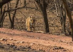 T83 Lightning (sunnyoberoi) Tags: travel wild india nature forest cat mammal stripes tiger safari jungle lightning wildcat thrill rajasthan ranthambhore ranthambhorenationalpark t83