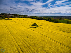 Oil Seed Rape ([inFocus]) Tags: england sky colour tree field lines yellow landscape flying cheshire unitedkingdom aerial crop gb radiocontrol drone oilseedrape phantom4 dji kidsgrove