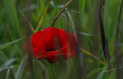 Hiding..... (johngregory250666) Tags: light red wild summer england plant flower macro nature fleur field yellow rural walking outside outdoors moss nikon bright bokeh outdoor hiking sheffield yorkshire free valley poppy nikkor depth d5200