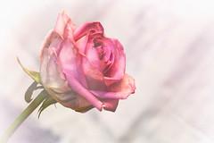 Pink Rose (MacBeales) Tags: pink macro art rose closeup canon eos bokeh nik filters