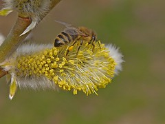 A honey bee collecting nectar and pollen on a Pussy Willow. (Bienenwabe) Tags: flower macro nature insect spring weide natur bee willow pollen honeybee springflowers biene pussywillow apis salix salixcaprea apiaceae honigbiene apismellifera salicaceae salweide yellowpollen