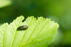Lamprodila (Lamprodila) decipiens kamikochiana (Gebler,1847) (kenta_sawada6469) Tags: insect insects buprestidae coleoptera jewelbeetle jewel beetle beetles nature wildlife bug bugs leaves green macro