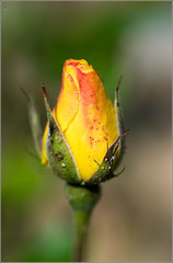 Rose Bud (mikeyp2000) Tags: orange flower macro art rose yellow tamron a77ii ilca77m2 a77mk2