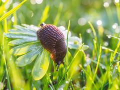 snail on wings (StadtKind - capture the Bokeh) Tags: macro germany bavaria droplets europe dof bokeh snail raindrops schnecke wassertropfen regentropfen kempten stadtkind olympusem10markii