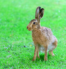 Hare in the Garden (Trev & Bron) Tags: hare