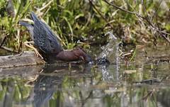 The great splash! (Jeannine St. Amour) Tags: bird heron nature wildlife greenheron