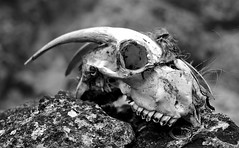 Dried out?  [Explored May 29, 2016 Dropped] (GOLDFOCUS) Tags: goldfocus germany great giant golddragon geringeschärfentiefe availablelight autofocus ausflug exkursion exposure sexy black bw blackandwhite blass bokeh dof outdoor journey goat skull death canon cool 400d 40mm ef ef40mm pancake pale reflections reflection rocks aradena crete aradenaschlucht φαράγγιαραδαίνασ farangiaradenas greece tot tod schwarzweiss schwarz sw thebeautyofbokeh shooting schärfentiefe happy happyshooting hsbilderflut h monocrome noiretblanc