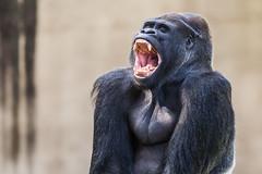 Oscar Jonesy (Thomas Hawk) Tags: sanfrancisco california usa america zoo monkey unitedstates gorilla fav50 unitedstatesofamerica sanfranciscozoo fav10 fav25 fav100 oscarjonesy
