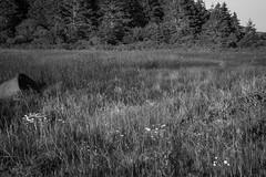 wetlands, behind Lobster Cove, Monhegan, Maine, Nikon D40, Sigma 18-50mm EX DC MACRO, 6.26.16 (steve aimone) Tags: wetlands grasses lobstercove monhegan monheganisland maine monochrome monochromatic nikond40 sigma1850mmexdcmacro landscape blackandwhite