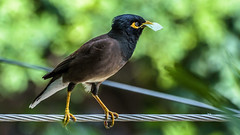 "Personal Invitation! - ""Explored"" (chandra.nitin) Tags: india bird nature animal delhi perched newdelhi myna commonmyna"