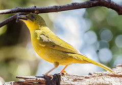 RSS_0236 (RS.Sena) Tags: brazil bird nature forest nikon natureza pssaro atlantic ave birdwatching mata atlntica d7000 sopaulobr
