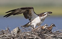 Osprey with three chicks (Mawrter) Tags: family wild sun sunlight bird nature sunshine birds animal animals canon outside outdoors four newjersey sticks afternoon nest outdoor wildlife birding young nj stick chicks osprey avian forsythe nesting forsythenwr specanimal oceanville ospreychicks