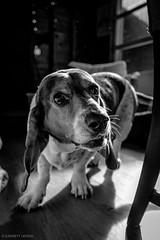 6/20/16 Photo 234 (GarrettHerzig) Tags: bw dog monochrome fuji norfolk basset bassethound 365project x100t fujix100t