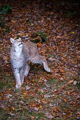 Looking up (Cloudtail the Snow Leopard) Tags: animal cat mammal feline katze lynx tier pforzheim wildpark luchs sugetier