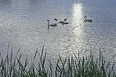 Swans Feeding on Ell Pond (AntyDiluvian) Tags: park boston reeds swan pond feeding eating massachusetts cygnet melrose foraging ellpond