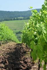 DSC_3865 (erinakirsch) Tags: italy castle landscape florence vineyard view wine vine winery vineyards views tuscany toscana grape grapevine florenceitaly frescobaldi winegrapes nipozzano