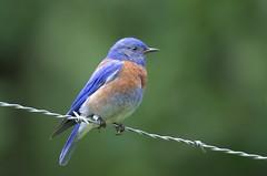 Male Western Bluebird (Sialia mexicana) DDZ_4912 (NDomer73) Tags: bird june bluebird better thrush champoeg 2016 westernbluebird champoegstatepark champoegstateheritagearea 11june2016