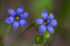 blue eyes (loco's photos) Tags: dfa5028 k1 pentax blue flower macrolens monopod purple blueeyedgrass wildflower green bokeh dof fullframe