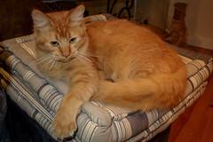 Mali (cupra1) Tags: pets cat feline somali mali pussycat somalicat