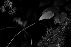 Untitled (Yuta Ohashi LTX) Tags: bw white plant black monochrome composition lights nikon shadows f14 voigtlander fixed 58mm nokton    focal   d90 primelens