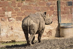 Chester Zoo (407) (rs1979) Tags: zoo chester rhino blackrhino chesterzoo