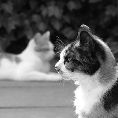 Domino and Willem (Chantal van der Ende-Appel) Tags: cats domino willem