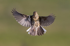 Meadow Pipit (Simon Stobart (back but busy)) Tags: meadow pipit flying hovering food northeastengland ngc