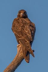 Black Falcon (juv) DSC_5849- (BlueberryAsh) Tags: bird animal animals raptor birdofprey werribee blackfalcon australianbird westerntreatmentplant tamron150600 nikond750