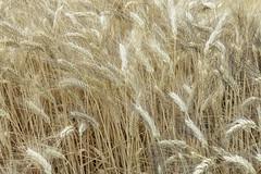 Wheat (Micheo) Tags: yellow spain song sting amarillo granada verano fields cereals cereales cancion campos trigo fieldsofgold cosechas