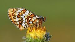 Melitaea aurelia (hisari45) Tags: color macro nature butterfly aurelia melitaea