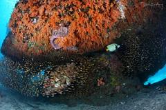 Emperor anglefish & school of glassfish (Randi Ang) Tags: crystal bay nusa penida bali indonesia underwater scuba diving dive photography wide angle emperor anglefish glassfish randi ang canon eos 6d fisheye 15mm