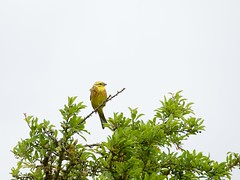 P6191933 (macg33zr) Tags: birds beds yellowhammer cambs