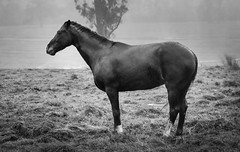 Cold (Skye Auer) Tags: winter bw horse storm cold rain weather dark wind harsh suffer