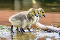 The gosslings go marching three by three... (danielusescanon) Tags: gosslings canadagoose row walking wild canecreekpark cookeville tennessee birdperfect animalplanet water cute brantacanadensis