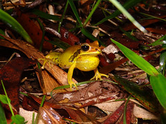 Green-thighed Frog (Frogging Around) Tags: male pomona sunshinecoast seq greenthighedfrog litoriabrevipalmata