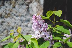 Lilas dans la nouvelle haie (fred_v) Tags: fleur lilas