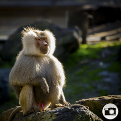 Melbourne Zoo (dylanm1999) Tags: animal zoo monkey melbourne baboon