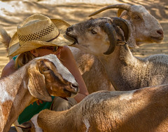 Straw hats are delicious (explored) - goats Pebbles and Amelia, sheep Danny, person: Erin (suzeesusie) Tags: california friends woman love nature hat animals losangeles vegan sheep farm horns goats sanctuary santaclarita