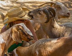 Straw hats are delicious (explored) - goats Pebbles and Amelia, sheep Danny, person: Erin (sue2028) Tags: california friends woman love nature hat animals losangeles vegan sheep farm horns goats sanctuary santaclarita